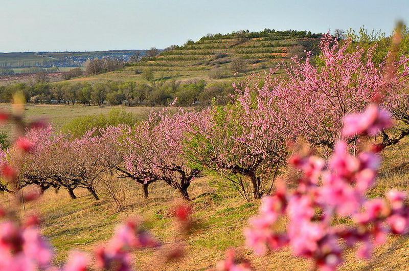 Цветущий персик в Крыму, фото Ю.Югансон